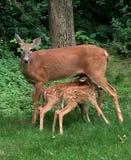 母鹿用2只小鹿哺养 免版税库存照片