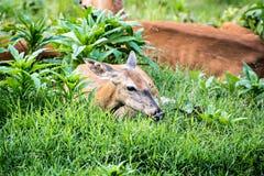 母鹿白尾鹿休息 库存图片