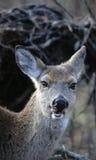母鹿白色被盯梢的鹿 图库摄影