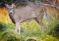 母鹿目的母鹿 库存图片