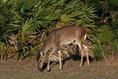 母鹿矮棕榈条 免版税库存图片