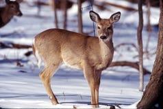 母鹿纵向白尾鹿 库存照片