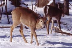 母鹿纵向白尾鹿 免版税库存照片