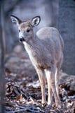 母鹿纵向白尾鹿 库存图片