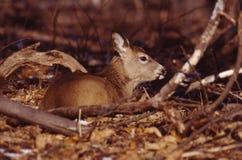 母鹿纵向白尾鹿 免版税库存图片
