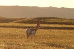 母鹿羚羊 库存图片