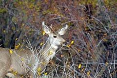 母鹿长耳鹿 库存图片