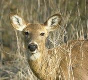 母鹿顶头射击白尾鹿 库存照片