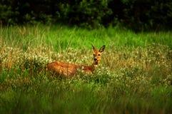 母鹿鹿。 库存图片