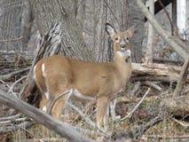母鹿鹿一头母鹿 免版税库存照片