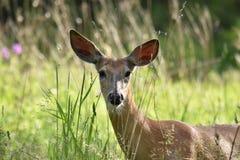 母鹿鹿在城市公园关闭 库存图片