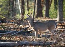 母鹿,鹿在森林里在一个晴朗的冬日 免版税库存图片