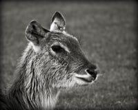 母鹿,鹿 库存图片