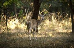 母鹿从后面 免版税图库摄影