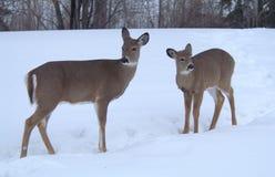 母鹿&她的小鹿忍受冬天雪  免版税图库摄影