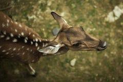 母鹿细节视图从上面 免版税库存照片