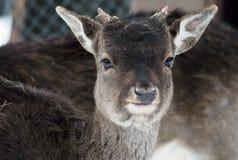 年轻母鹿画象 库存照片