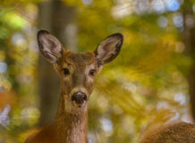 母鹿画象 库存照片