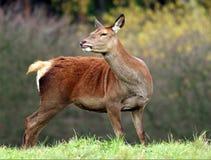 母鹿 免版税库存图片