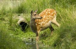 渴母鹿 免版税图库摄影
