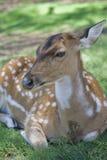 轴母鹿 免版税库存照片