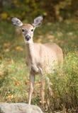 母鹿 免版税库存照片