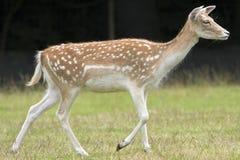 母鹿 库存图片