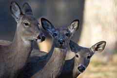 母鹿3 库存图片