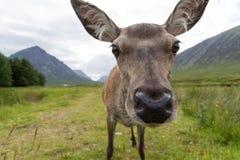 母鹿` s头关闭 图库摄影