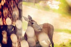 母鹿Whaitetail通过篱芭 库存图片
