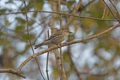 母黄色Rumped鸣鸟在森林里 库存照片