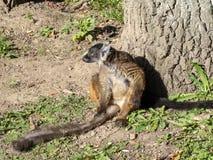 母黑狐猴, Eulemur macaco是棕色的在颜色 免版税库存照片