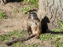 母黑狐猴, Eulemur macaco是棕色的在颜色 免版税库存图片