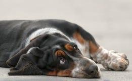 母贝塞猎狗狗 免版税库存图片