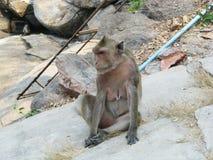 母猴子 图库摄影