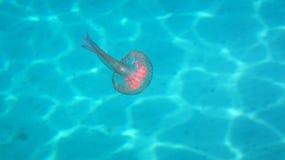 水母-淡紫色有刺的动物 库存图片