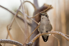 母黑的Chinned蜂鸟 库存图片