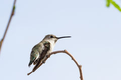 母黑的Chinned蜂鸟 免版税库存照片