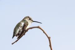 母黑的Chinned蜂鸟 免版税图库摄影