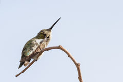 母黑的Chinned蜂鸟 库存照片