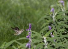 母黑的Chinned蜂鸟 图库摄影