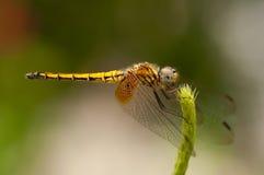 母绯红色Dropwing蜻蜓 库存照片