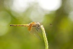 母绯红色Dropwing蜻蜓 库存图片