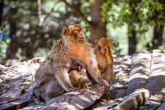 母巴贝里猿,猕猴属sylvanus,与两个婴孩,摩洛哥 库存图片