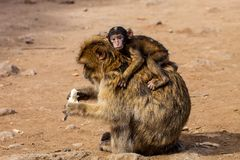 母巴贝里猿,猕猴属sylvanus,与年轻人,摩洛哥 免版税库存照片