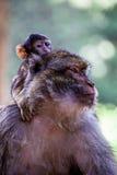 母巴贝里猿,猕猴属sylvanus,与婴孩,摩洛哥 免版税库存图片