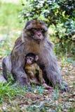 母巴贝里猿,猕猴属sylvanus,与婴孩,摩洛哥 免版税库存照片