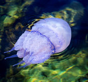 水母 免版税图库摄影