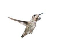 母Annas蜂鸟在飞行中有白色背景 免版税库存图片