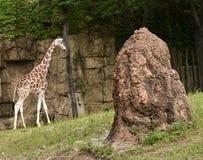 母Baringo长颈鹿 库存图片
